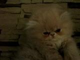 Очень активный котенок ищет свою мечту! заберите его пожалуйста за скромное вознаграждение